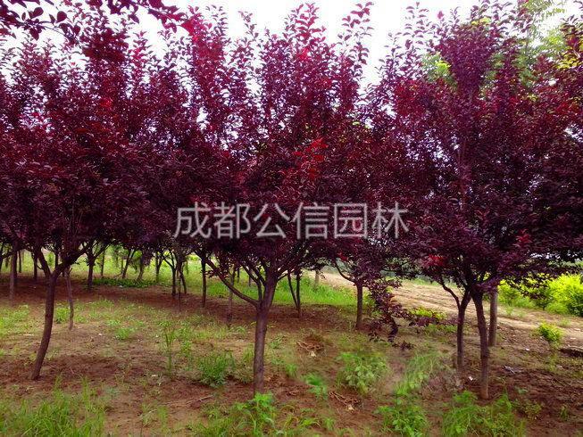 紅葉李2.jpg