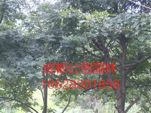皂荚树怎么移栽能提升存活率?皂荚树的养护方法详解