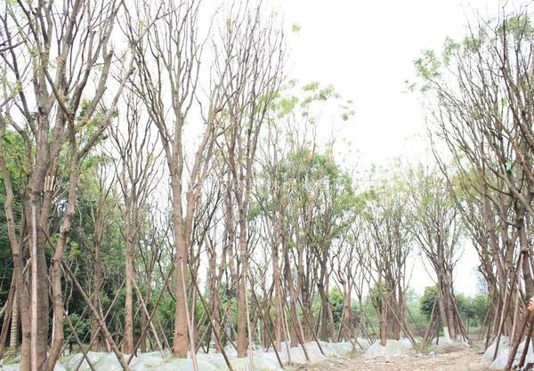 四川黃連木