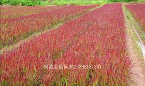 日本血草,血草价格,血草基地