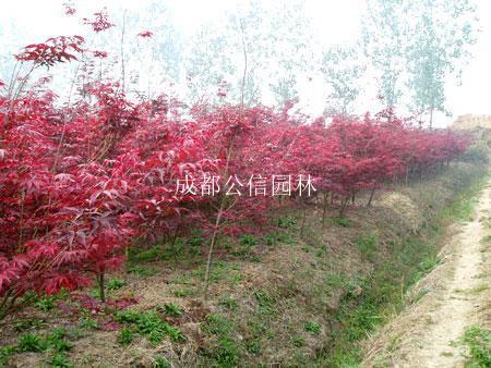 紅楓苗.jpg