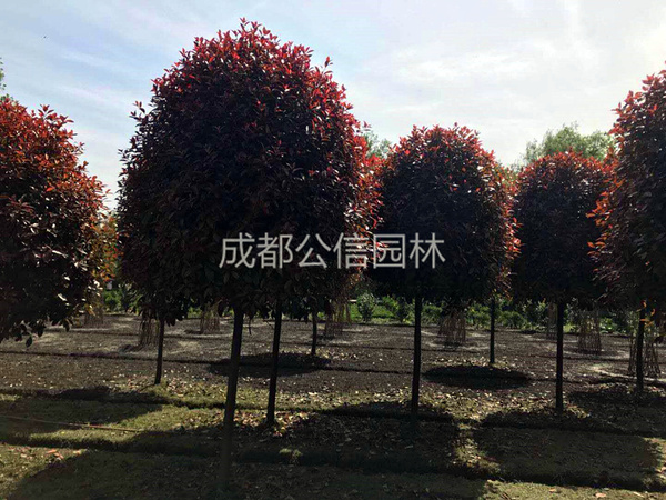 四川红叶石楠