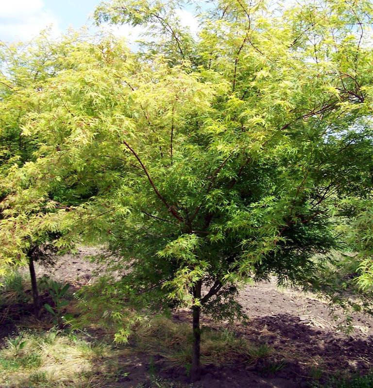 怎么提高雞爪槭移栽存活率?雞爪槭怎么進行養護?
