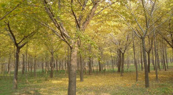 銀杏樹實拍