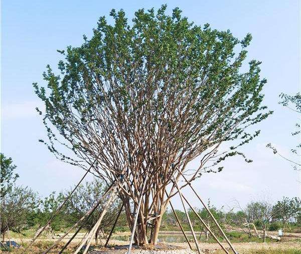 丛生乌桕什么时候种植?丛生乌桕栽种时间方法