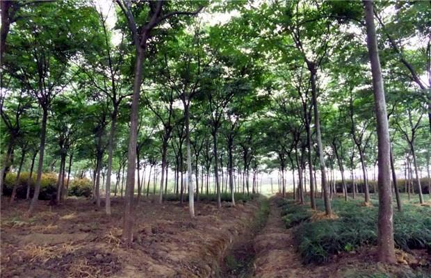 欒樹移栽后的養護 怎樣提高存活率