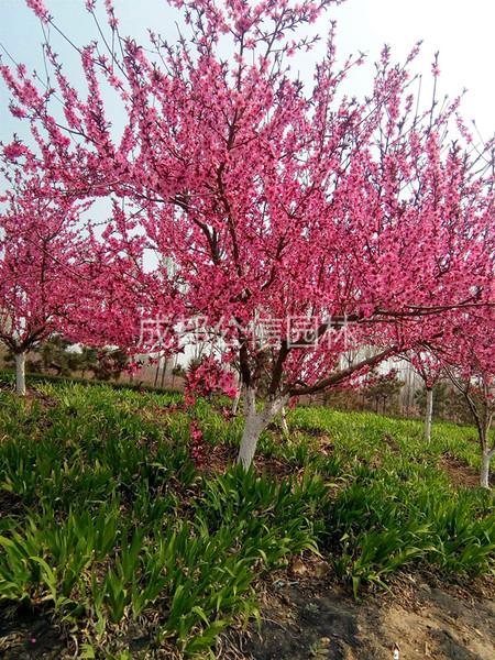 樱花树价格,樱花图片,樱花报价