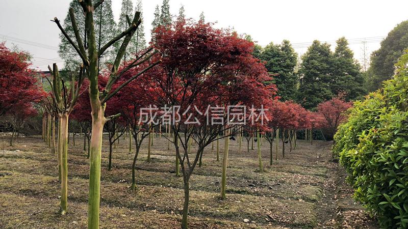 红枫2.jpg