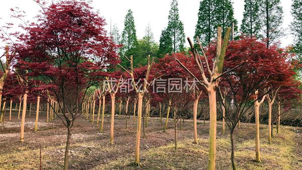 红枫的种植方法以及日常养护事项