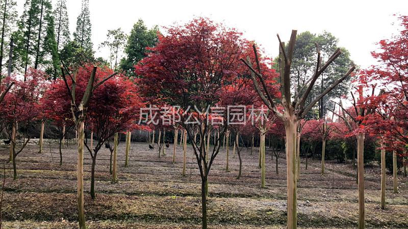 红枫.jpg