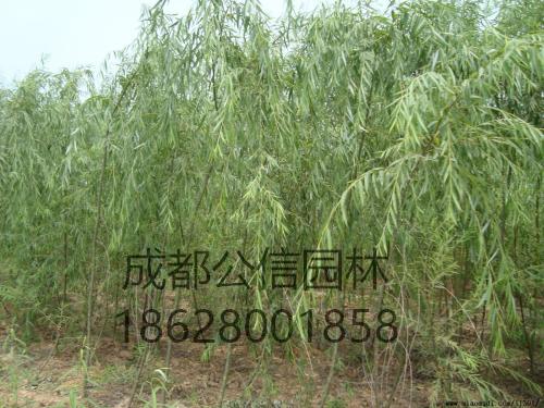 垂柳1_看图王.jpg