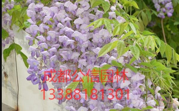 20公分以上的紫藤樹價格貴嗎?