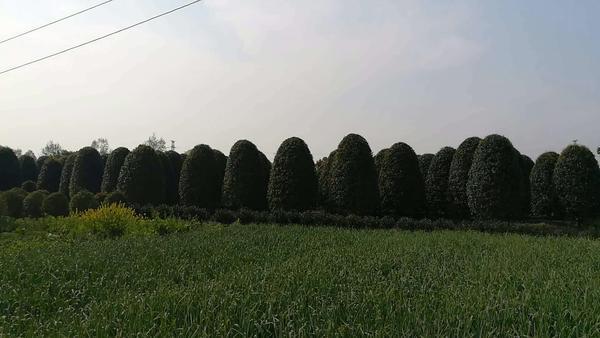 行道树如何灌溉?灌溉方式有哪些?