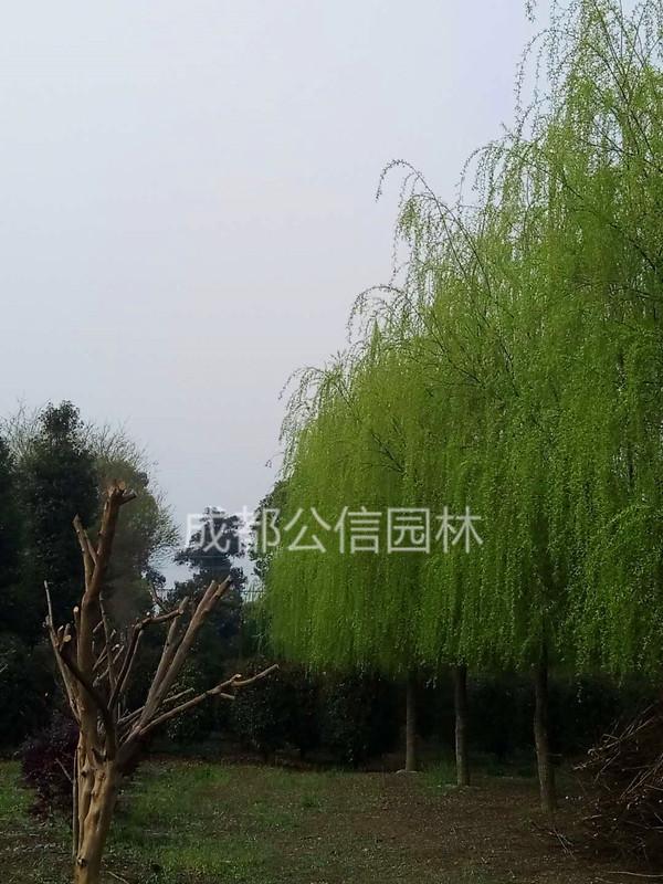 万博官方软件柳树